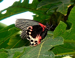 schmetterling_b8